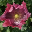 POPPY FLOWER SEEDS THE GIANT 100 FRESH SEEDS  USA SHIPPING