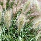 USA Product30 WHITE FOUNTAIN GRASS Pennisetum Villosum Ornamental Flower Seeds *Flat Ship