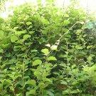 USA Product50 GOLDEN KIWI FRUIT Yellow Actinidia Chinensis Kiwifruit Gooseberry Vine Seeds