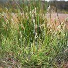 USA Product150 SWEET VERNAL GRASS Sweet Grass Vanilla Grass Anthoxanthum Odoratum Seeds