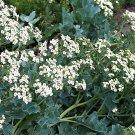 USA Product5 SEA KALE Crambe Maritima Seakale Perennial Edible Vegetable White Flower Seeds