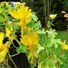 USA Product10 CANARY CREEPER NASTURTIUM Vine Tropaeolum Peregrinum Yellow Bird Flower Seeds