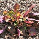 USA Product15 PURPLE KNOCKOUT SALVIA Lyrata Lyre-Leaf Sage Lavender Blue Flower Seeds +Gift
