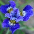 USA Product20 MIXED SIBERIAN IRIS Sibirica Iris Bicolor Blue Red White Purple Flower Seeds