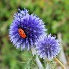 USA Product25 Blue GLOBE THISTLE Echinops Ritro Southern Globethistle Flower Seeds + Gift