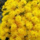 USA Product10 PURPLE ACACIA Baileyana Purpurea Fernleaf Mimosa Tree Yellow Flower Seeds