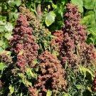 USA Product100 Organic COCOA CHERRY QUINOA Grain Chenopodium Quinoa Red & Brown Seeds +Gift
