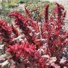 USA Product500 MIDNIGHT RED AMARANTHUS Cruentus Amaranth Flower Leaf Vegetable Seeds + Gift