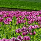 USA Product1000 HUNGARIAN BREADSEED POPPY Papaver Purple Blue Flower Seeds *Flat Shipping