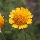 USA Product250 GOLDEN MARGUERITE DAISY Yellow Chamomile Anthemis Tinctoria Flower Seeds