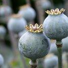 USA Product250 PURPLE PEONY POPPY Papaver Paeoniflorum Huge Double Flower Seeds *Flat Ship