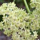USA Product50 BLUE ELDERBERRY Sambucus Caerulea Arizona Elder Tree Shrub Fruit Berry Seeds