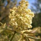 USA Product100 RED ELDERBERRY Sambucus Racemosa Mountain Elder Tree Shrub Fruit Berry Seeds