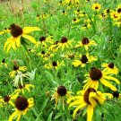 USA Product50 OZARK GOLD CONEFLOWER Echinacea Paradoxa Yellow Bushs Coneflower Flower Seeds
