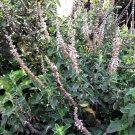 USA Product10 Java INDIAN PATCHOULI Pogostemon Heyneanus Herb Shrub Flower Fragrant Seeds