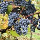 USA Product10 Purple CONCORD GRAPE Fruit Vine Vitis Labrysca White Flower Seeds *Flat Ship