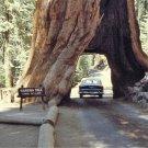 USA Product40 GIANT SEQUOIA Sequoiadendron Giganteum Sierra Redwood Tree Seeds * Flat Ship