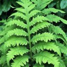 USA Product1000 + SENSITIVE FERN Onoclea Sensibilis aka Bead Sympathy Spores Seeds