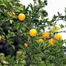 USA Product5 HARDY ORANGE TREE Trifoliate Citrus Trifoliata Poncirus Fruit Flower Seeds