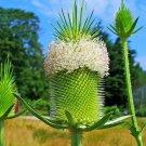 USA Product75 FULLERS TEASEL Indian Teasel Dipsacus Sativus White Flower Seeds