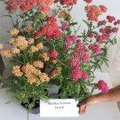 USA Product500 MIXED SUMMER YARROW Achillea Millefolium Red Pink White + Herb Flower Seeds