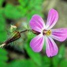USA Product30 Herb ROBERT GERANIUM Robertianum Cranesbill Pink Shade Flower Seeds *FlatShip