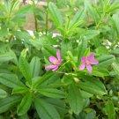 USA Product150 FAME FLOWER Jewels of Opar Talinum Portulaca Fameflower Vegetable Leaf Seeds
