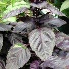 USA Product500 RED RUBIN BASIL Ocimum Basilicum Purpurascens Spicy Herb Flower Seeds + Gift