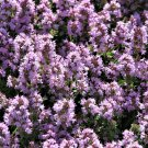 USA Product100 MOTHER OF THYME Lemon Broadleaved Thymus Pulegioides Herb Pink Flower Seeds