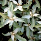 USA Product10 AMERICAN SILVERBERRY Wolf Willow Elaeagnus Commutata Berry Fruit Shrub Seeds