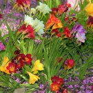 USA Product5 ROYAL CHAMPION MIX FREESIA Mixed Colors Pink Blue Purple Yellow + Flower Seeds