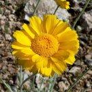 USA Product500 Yellow DESERT MARIGOLD Baileya Multiradiata Showy Drought Daisy Flower Seeds