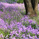 USA Product500 Purple FEBRUARY ORCHID Violet Cress Orychophragmus Flower Vegetable Seeds
