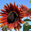 USA Product25 CHOCOLATE CHERRY SUNFLOWER Helianthus Annuus Red & Brown Flower Seeds + Gift