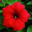 USA Product500 Fire Chief RED PETUNIA Nana Compacta Sun Annual AAS Winner Flower Seeds