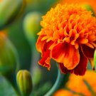 USA Product500 DWARF DOUBLE MARIGOLD Orange Flame Tagetes Patula French Red Flower Seeds