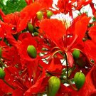 USA Product10 ROYAL POINCIANA TREE Delonix Regia aka Red Flame Flamboyant Tree Flower Seeds