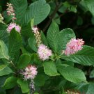 USA Product20 Pink SUMMERSWEET BUSH Clethra Alnifolia Rosea Fragrant Flower Shrub Seeds