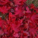 USA Product10 JAPANESE MAPLE TREE Acer Palmatum Red Orange Seeds *Comb S/H