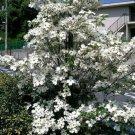 USA Product10 American WHITE FLOWERING DOGWOOD Small Tree Cornus Florida Southern Seeds