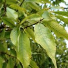 USA Product5 LAUREL OAK TREE Quercus Hemisphaerica Native aka Darlington Coastal Sand Seeds