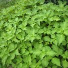 USA Product300 GREEN SHISO aka PERILLA Frutescens Ornamental Herb Seeds Green & Purple