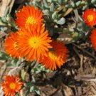 USA Product100 GELATO ORANGE ICE PLANT Mesembryanthemum Livingstone Daisy Flower Seeds