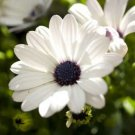 USA Product50 WHITE AFRICAN CAPE DAISY Dimorphotheca Sinuata Flower Seeds *Comb S/H & Gift
