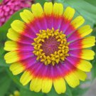 USA Product150 Carousel Mix Zinnia Elegans Carrousel Flower Seeds Mixed Colors Two & 3 Tone