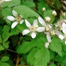 USA Product25 TRAILING BLACKBERRY Pacific Rubus Ursinus Vining Shrub Fruit Berry Seeds
