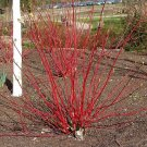 USA Product25 FIRE & ICE DOGWOOD Cornus Alba Shrub Tree Red Bark White Berry & Flower Seeds