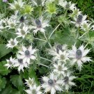 USA Product10 SILVER SEA HOLLY Eryngium Giganteum Miss Willmott's Ghost Flower Seeds + Gift