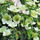 USA Product20 HIMALAYAN DOGWOOD / STRAWBERRY Tree White & Pink Flower Red Fruit Seeds +Gift