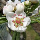 USA Product25 EUROPEAN PEAR TREE Pyrus Communis Fruit Seeds - White Flowers / Green Fruit